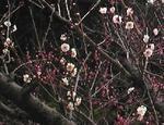 050207梅の花