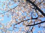 070307玉縄桜