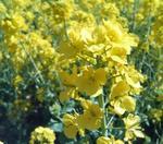 070307菜の花