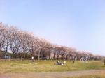 070401桜と芝生