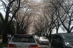 070401桜並木