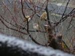 110211雀と雪